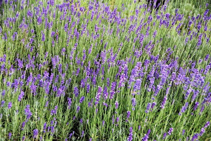 Lavender23.06 (3)