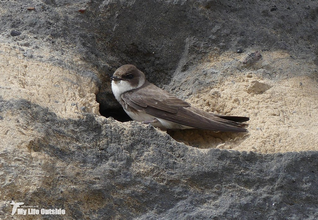 P1080596 - Sand Martin, Burry Port