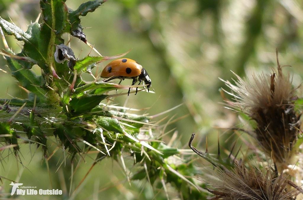 P1080961 - 7-Spot Ladybird