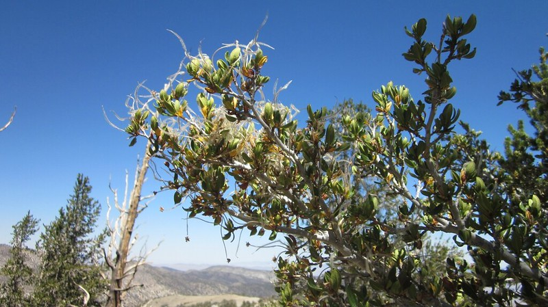 Mountain Mahogany plant with fuzzy seedlings