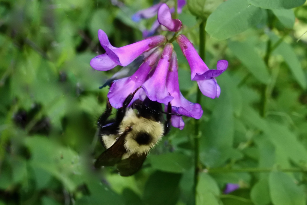 American Vetch and Bumble