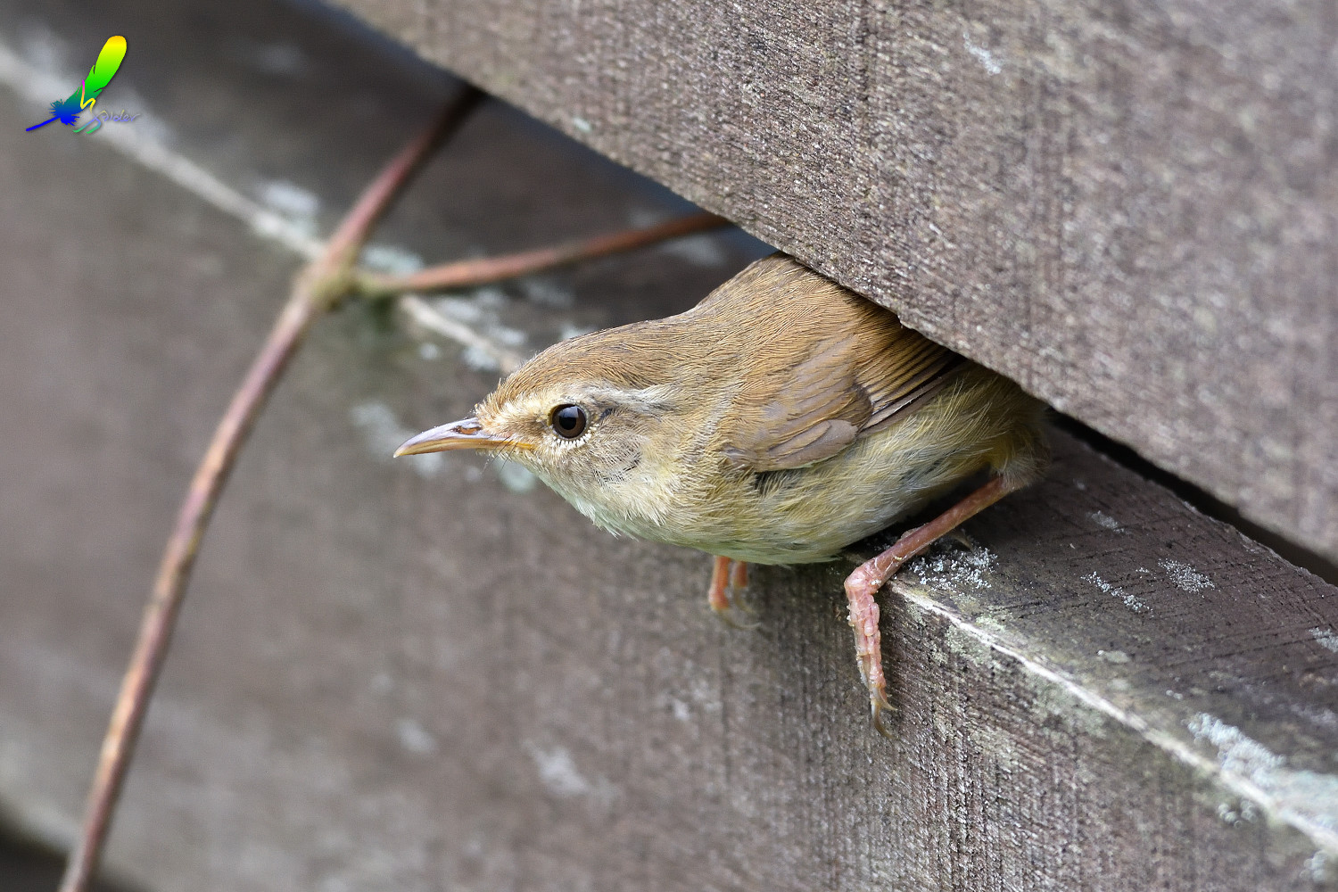 Strong-footed_Bush_Warbler_4134