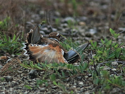 Killdeer distraction display 01-20170621