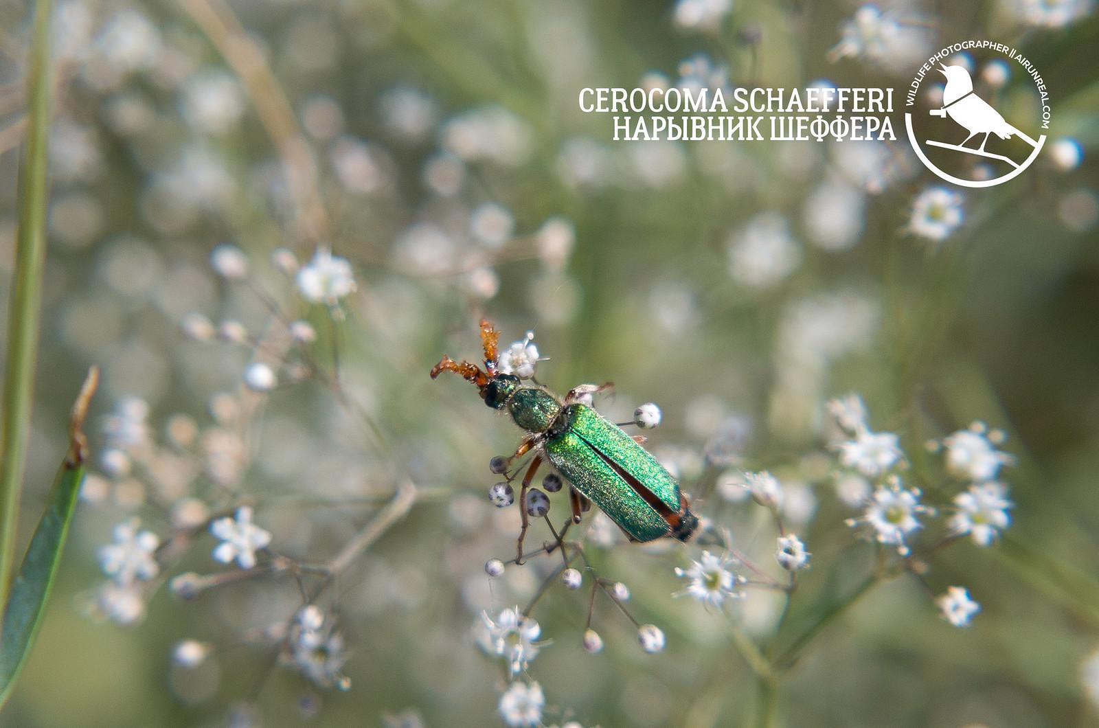 Cerocoma schaefferi // 20170625
