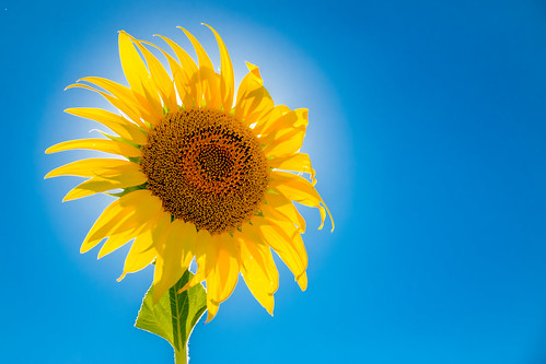 Solar-powered sun flower seen in Provence, France, near Avignon | by Phototravelography