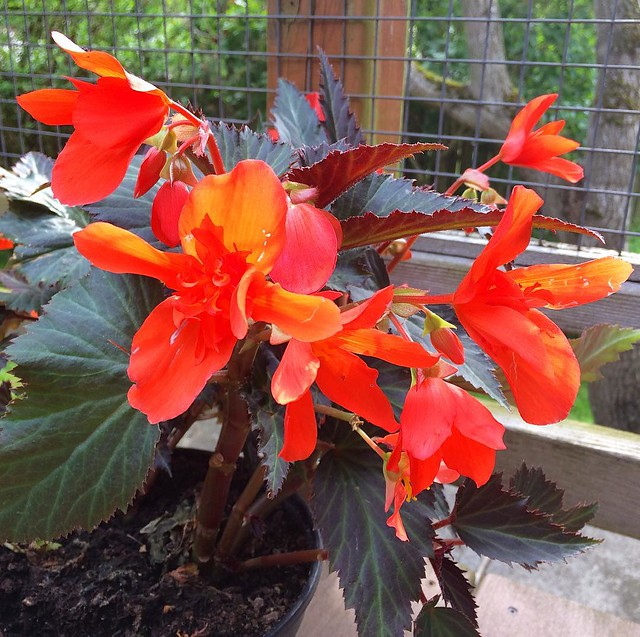 Bought some scarlet begonias today.