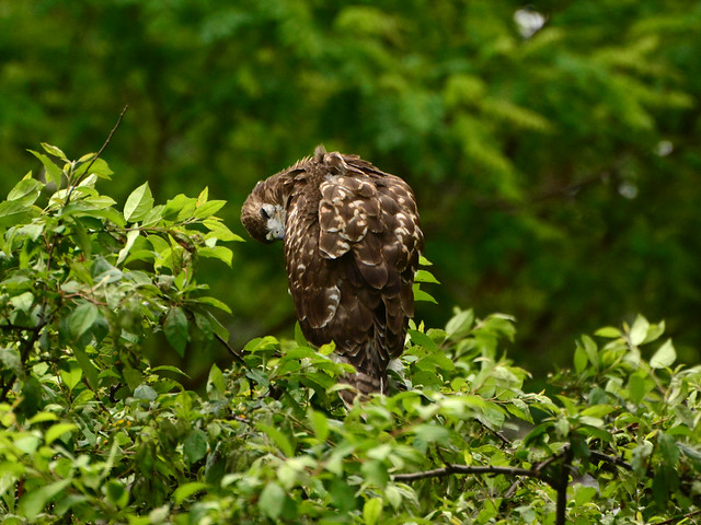 GT Red-Tail Fledgling - 4959
