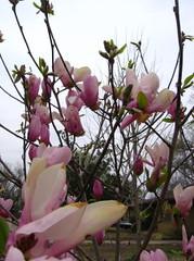 tulip_tree