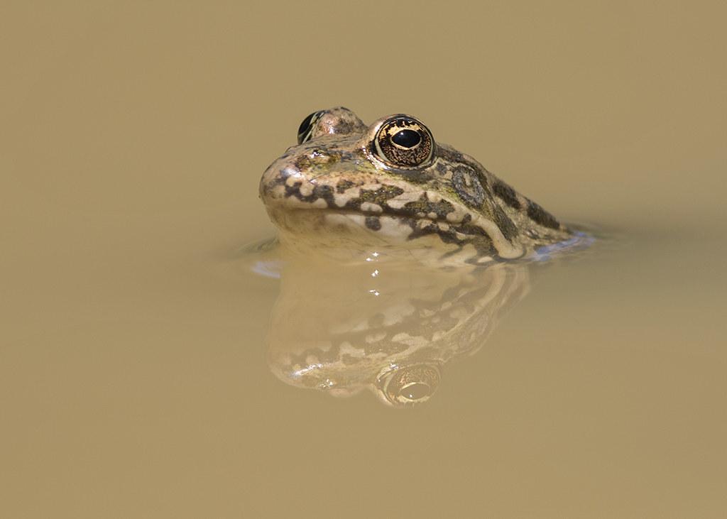 European Common Frog  Rana temporaria