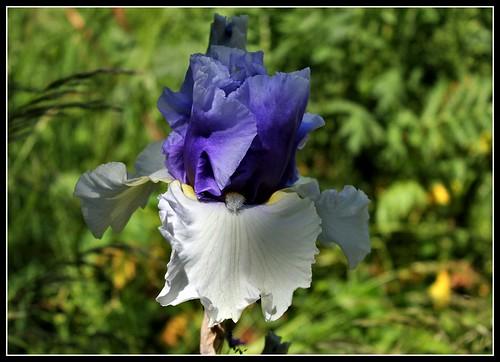 Iris 'Alpenview' - Keith Keppel 2002 34330936544_4a86702071