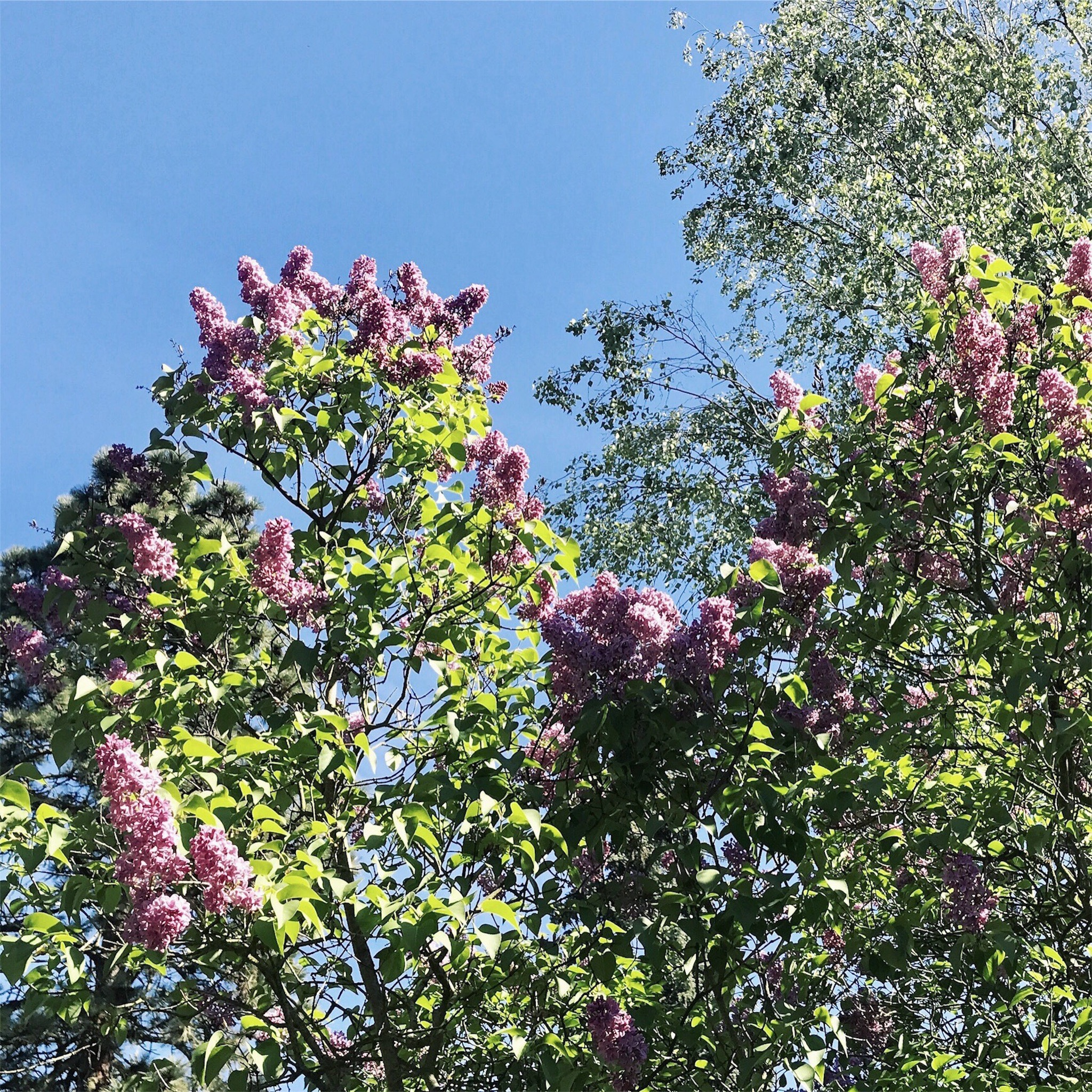 e040190f5a820 Vôňa a farby orgovánov....mohli by kvitnúť celý celučičký rok.
