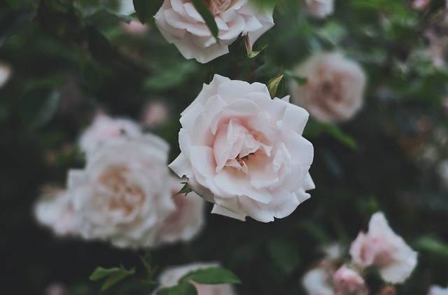 Roses Wonderland