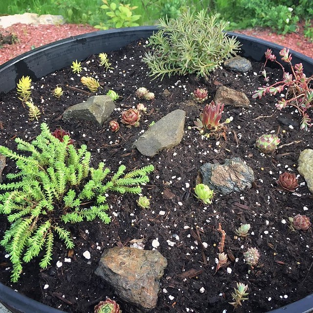 Trying a succulent rock garden in a container.