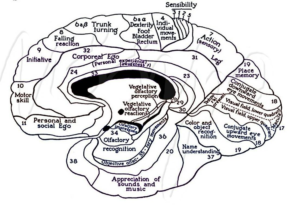 Functional Anatomy Of Cerebral Cortex Human Eihssn
