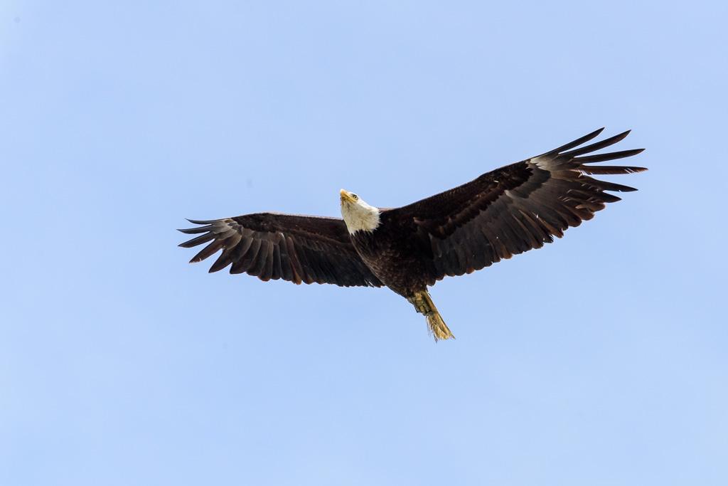 20170524_eagle_in_flight