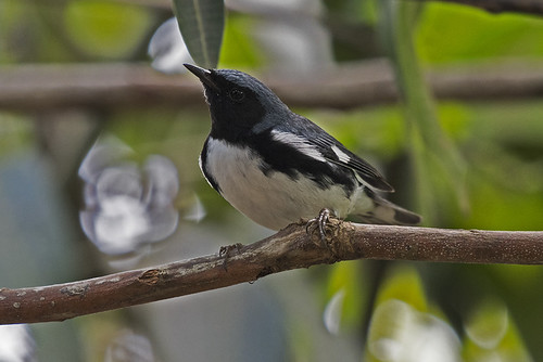 Cuba: Black-throated Blue Warbler