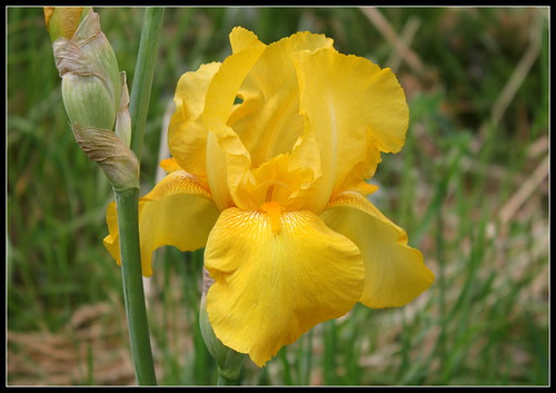 Iris 'Zantha' - O. Fay 1947 34994558445_f5a7efc1b2