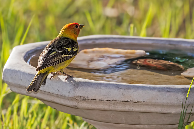 Western-Tanager-3-7D2-060517