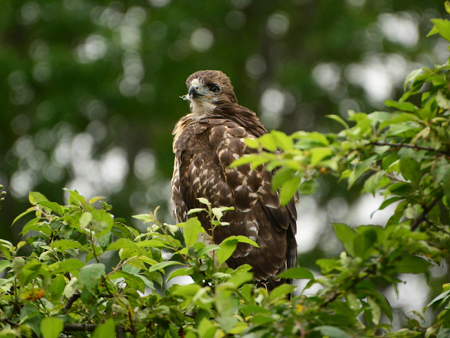 GT Red-Tail Fledgling - 4974