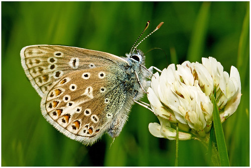 Common Blue Buttefly. | by vegetus aer