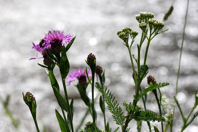 Dreisam flower