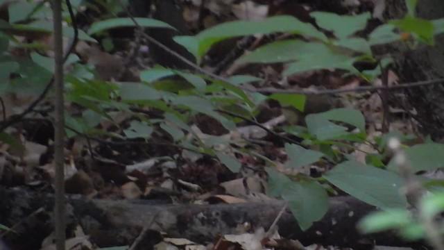 Swainson's Warbler Prospect Park
