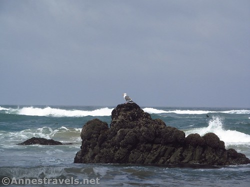Sea gull inspecting the conditions of the ocean on Cannon Beach near Haystack Rock, Oregon
