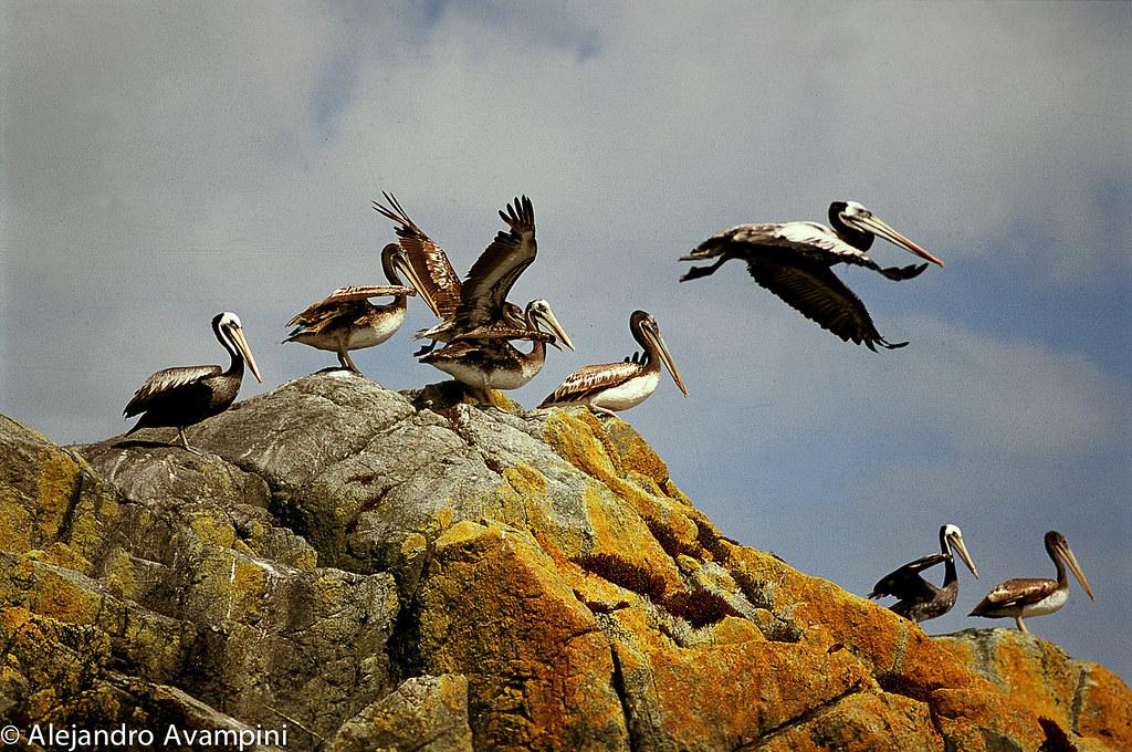 Pelicanos en un islote frente a Bahia Mala en el Océano Pacífico