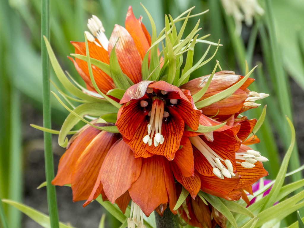 Fritillaria Imperialis Kaiser Crown Imperial Flower C Flickr