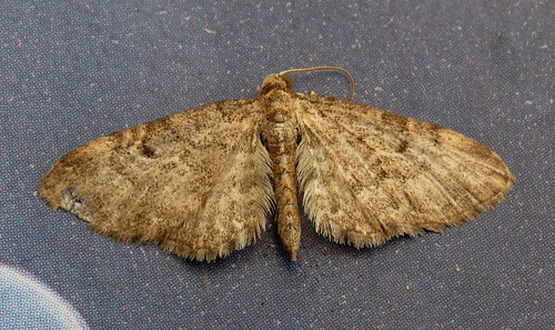 Grey Pug Eupithecia subfuscata Tophill Low NR, East Yorkshire May 2016