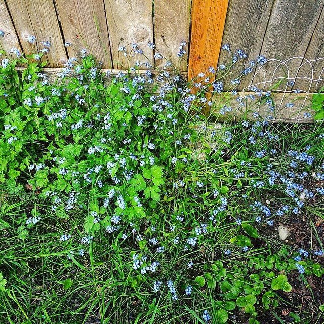 Forget-me-nots galore in the backyard.