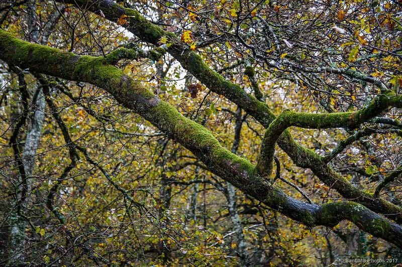 Musgo en las ramas de los árboles del Bosque de Orgi