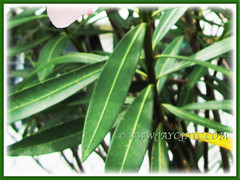 Dark green and olive-like leaves of Nerium oleander (Rosebay, Nerium, Oleander), 26 July 2011