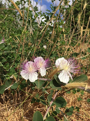 Caper plant (Capparis spinosa)