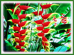 Ever-blooming Heliconia rostrata (Lobster Claw, False Bird of Paradise, Hanging Heliconia) with vibrant colours, 26 May 2017