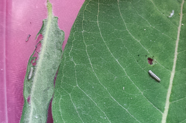 three tiny monarch caterpillars, one much smaller than the others