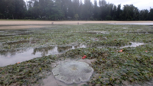 Living seagrass meadows at Changi