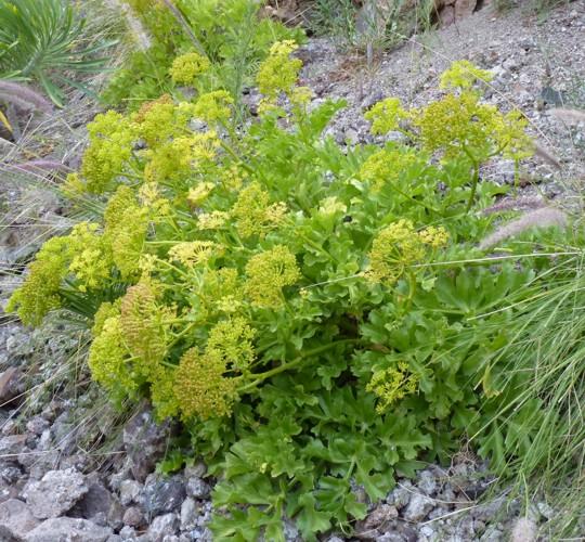 Astydamia latifolia 35025433275_58f5fcf007_o