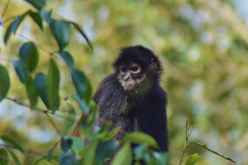 Belize Zoo - howler monkey