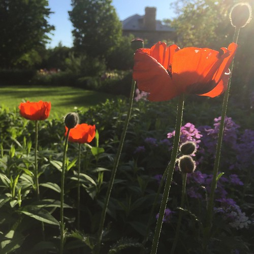 Poppies at Maplelawn