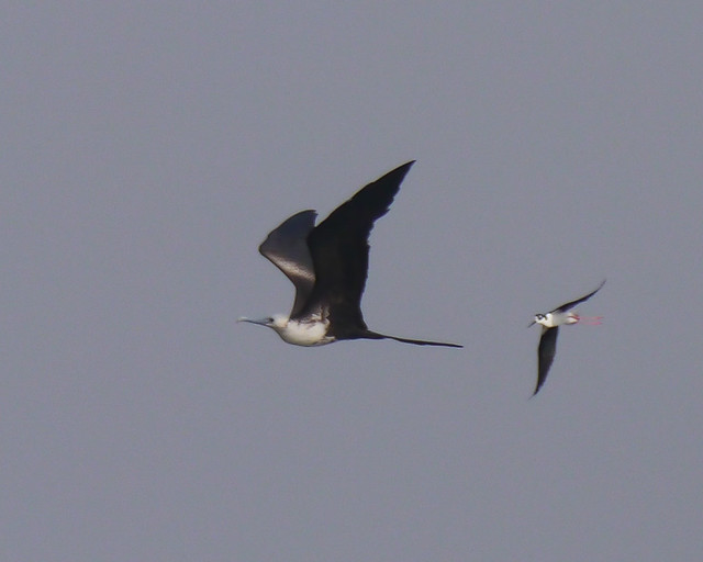 Black-necked Stilt chasing Magnificent Frigatebird - 1