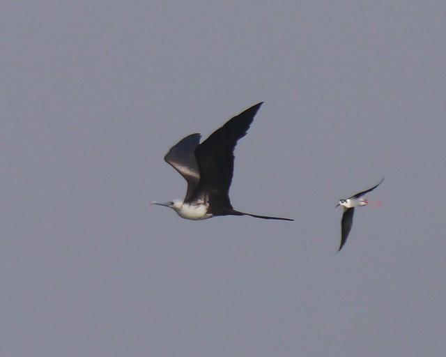 Black-necked Stilt chasing Magnificent Frigatebird - 1