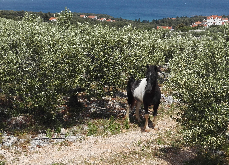 maaseutu hevonen