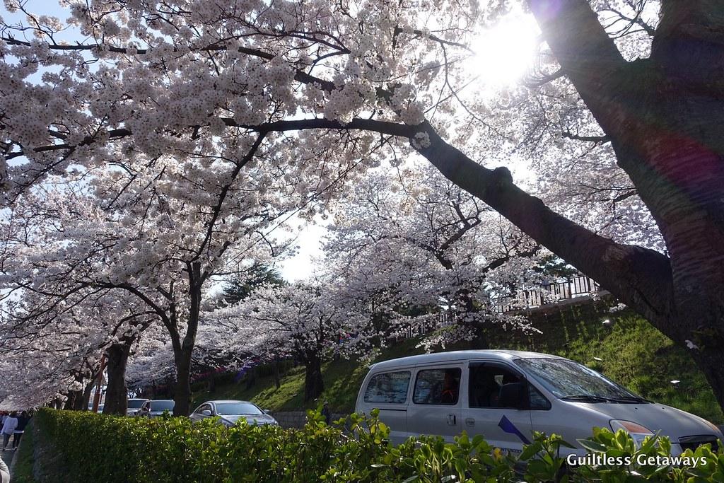 cherry-blossom-gangneung.jpg