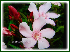 Beautiful pink flowers and promising buds of Nerium oleander (Rosebay, Nerium, Oleander), 24 May 2017