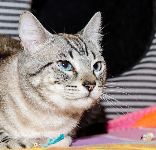 Tango, gato Siamés Tabby de colita corta esterilizado muy guapo, nacido en Enero´16, en adopción. Valencia. ADOPTADO. 34579754344_4c0443b815