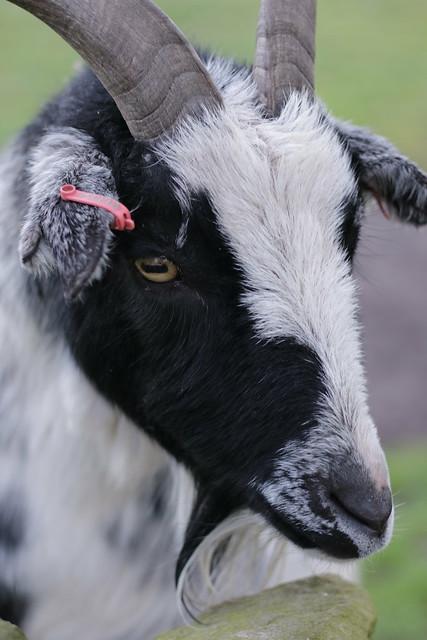 Mayfield Alpacas Animal Park - Goat