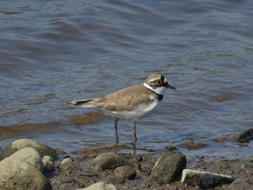Little Ringed Plover in Rossendale, Lancashire, England - May 2017