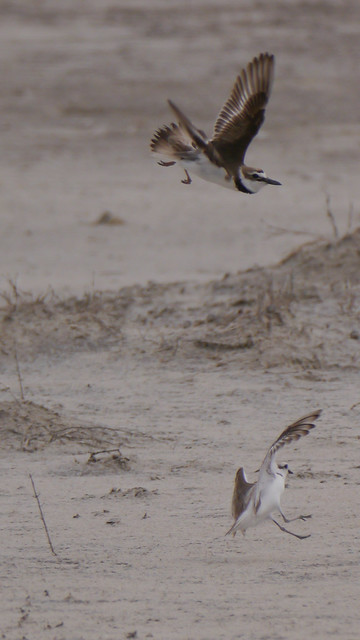 Snowy Plover Chasing Wilson's Plover - 1