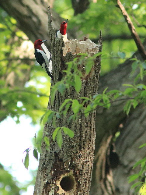 Red-headed Woodpeckers 05-20170528